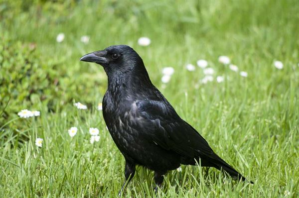 Carrion-Crow-credit-Harewood-House-Trust-1
